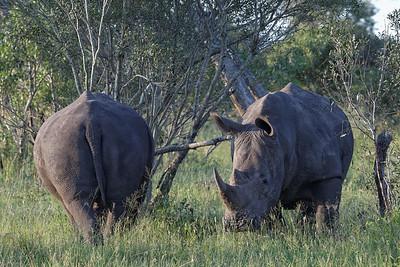 Rhinos - Næsehorn