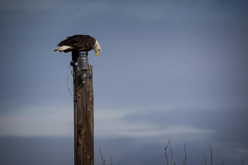 Eagle on pole-7205.jpg
