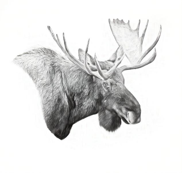 Moose portrait-B&W-v2-studio2.jpg