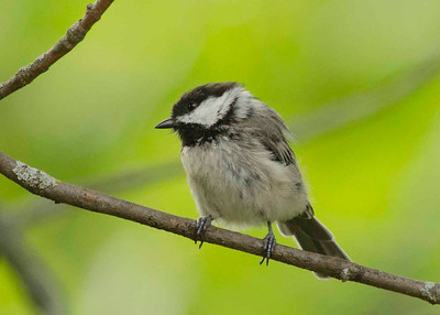 Just another shot of the Chickadee.