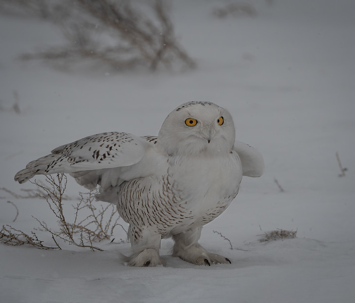 DSC_4650-Edit Snowy Owl DB chicken pose-2.jpg
