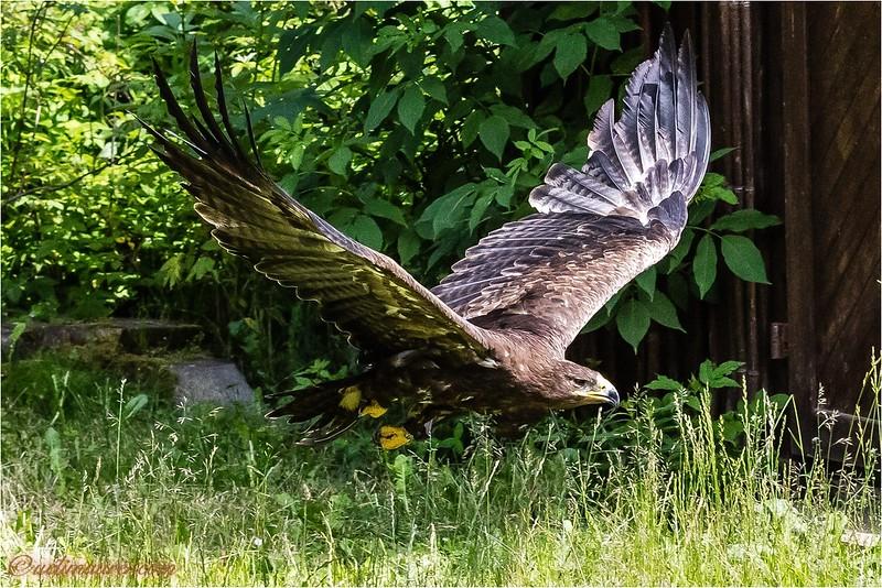 2016-07-01 Greifvogel-Flugshow Franz Rucklak Titisee -0U5A4188-Bearbeitet.jpg