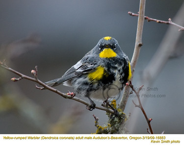 YellowRumpedWarblerMA16883.jpg