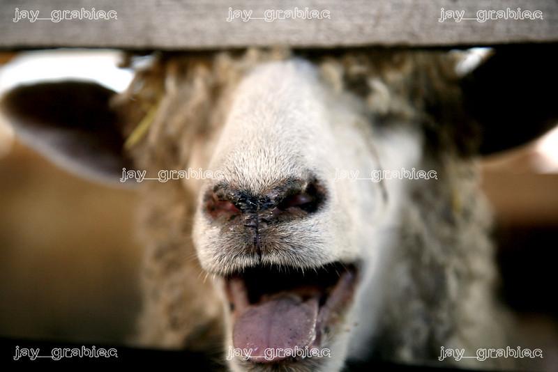 20080729_Sheep.jpg
