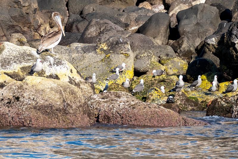Brown pelican and Hermann's gulls.