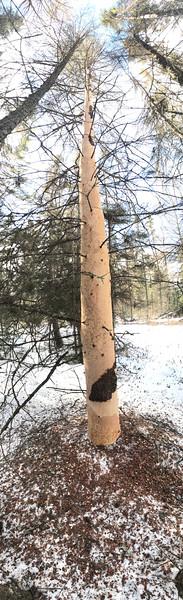 Porcupine chewings Blue Dasher Bog East Stone Lake Sax-Zim Bog MN IMG_3548.jpg