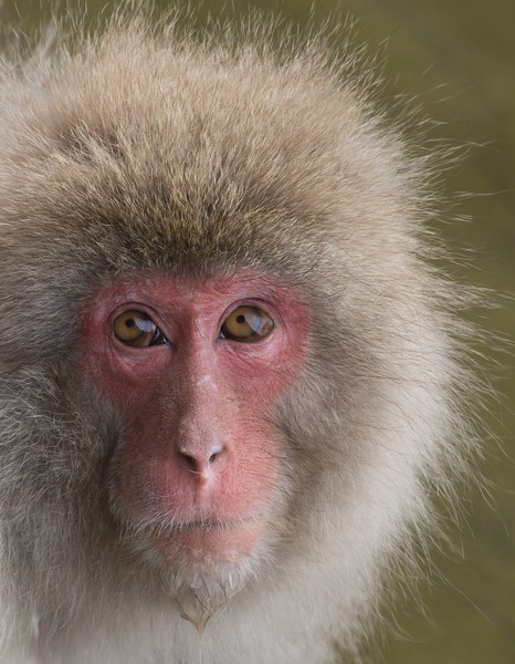 Snow Monkey with Water Dripping from Chin