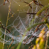 Dew on web