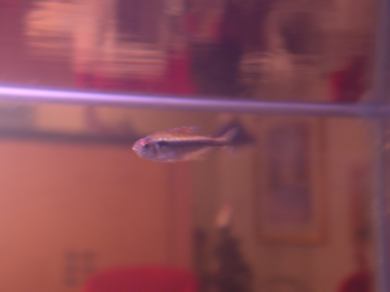 the black neon tetra likes swimming against the current created by the filter
