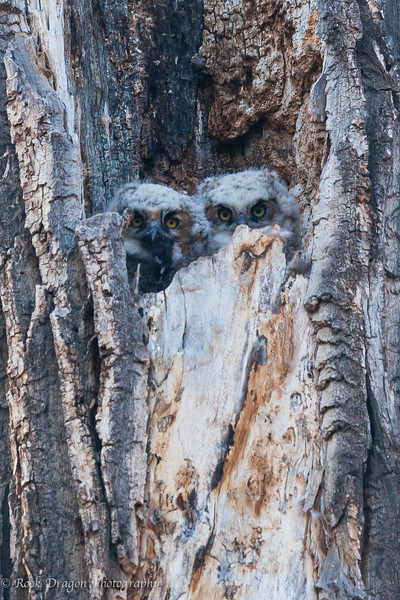 Two great horned owlets in Fish Creek Park.
