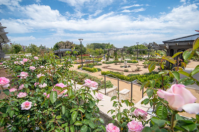 Rose Garden and Rose Blooms at South Coast Botanic Garden - April 2019