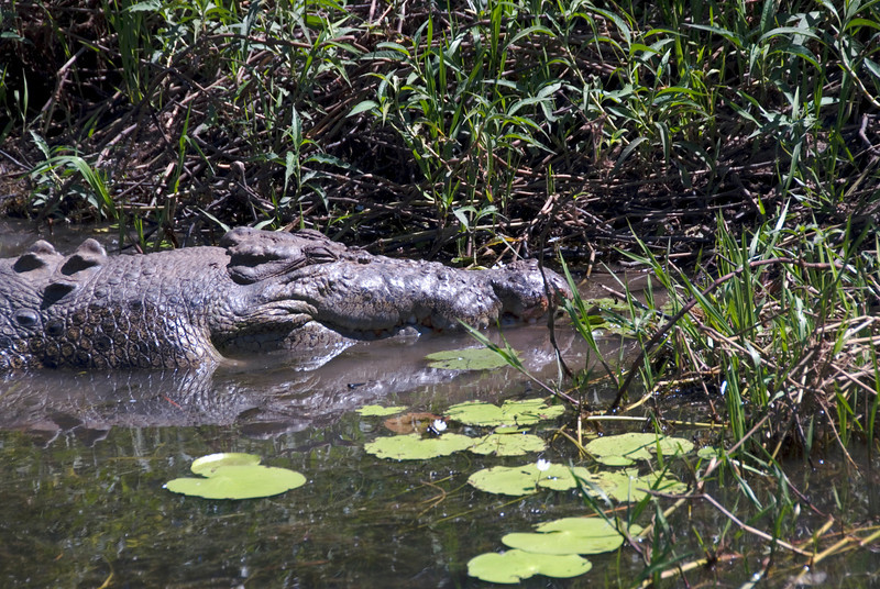 Male Crocodile Head, Alligator River, Kakadu National Park - Northern Territory, Australia