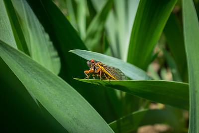 Cicadas - May_20_2021