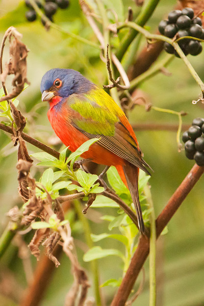 Bunting - Painted - male - Corkscrew Swamp, FL - 03