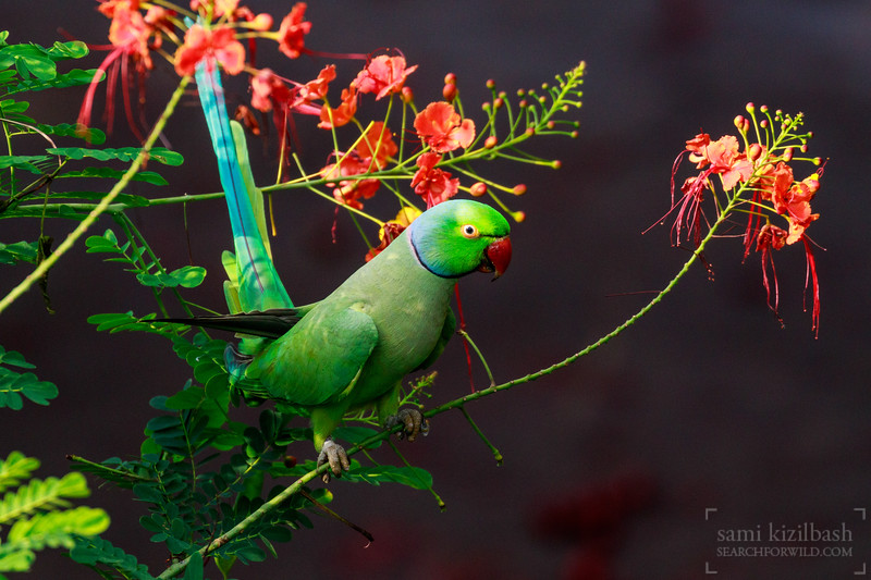 Rose-ringed Parakeet 11.jpg