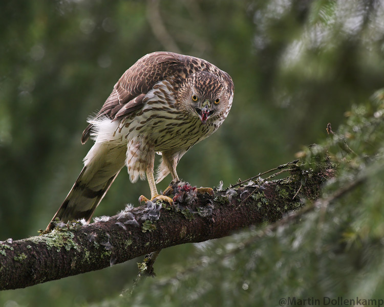 Coopers Hawk, I have brush piles for the birds to hide in when a predator comes around but sometimes they do get something.