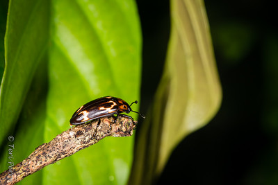INSECT - Beetle-2522