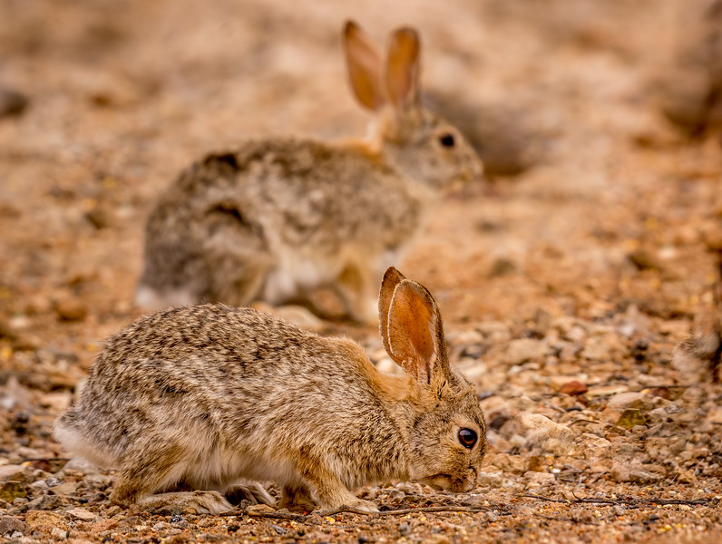 Desert Cottontail Rabbit #1