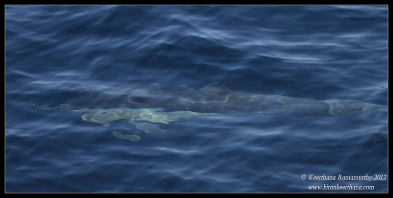 Common Dolphin under water, Whale Watching trip, San Diego County, California, September 2012