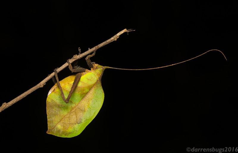 True Leaf Katydid - tribe Pterochrozini, genus Mimetica. (Belize)
