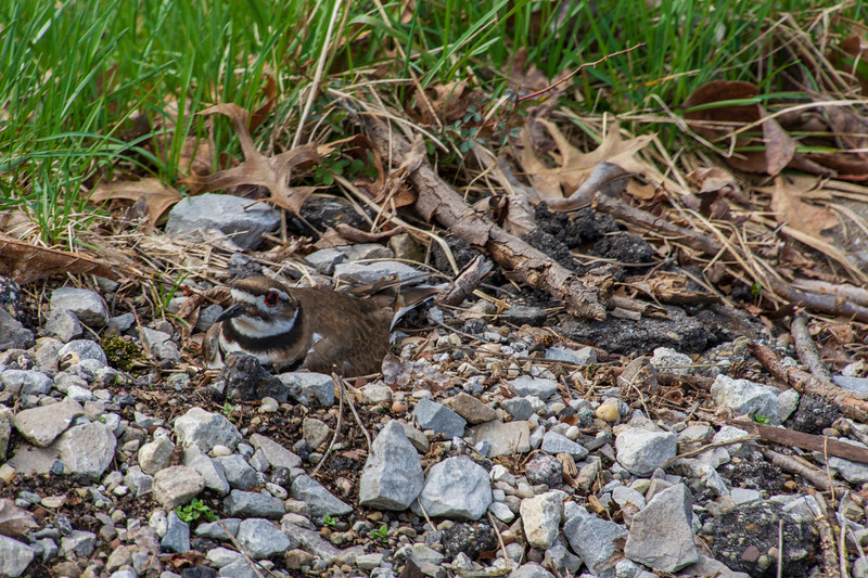 Pickle-Killdeer-Sittingon4eggs-4.14.jpg