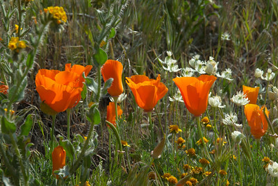 California Poppies '08