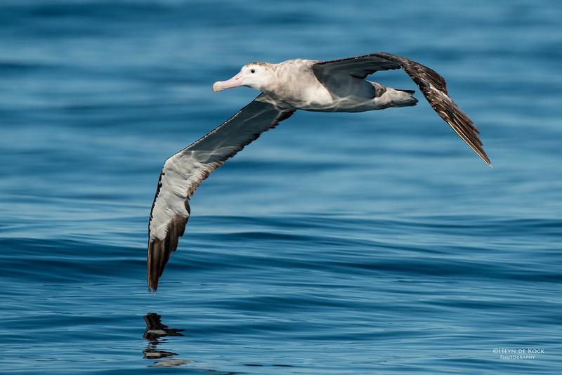 Antipodean Albatross, Wollongong Pelagic, NSW, Aus, Aug 2014.jpg