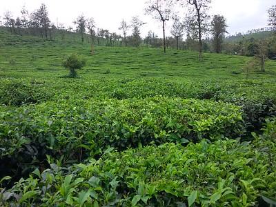 Tea Plantation Tour 🔒