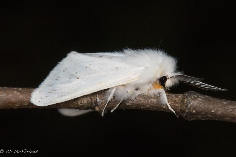 Agreeable Tiger Moth (Spilosoma congrua)