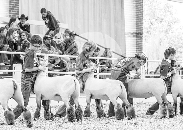 Junior Sheep