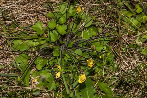 Ranunculus multiscapus