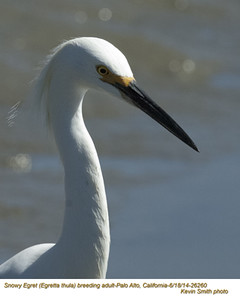 Snowy Egrets A26260.jpg