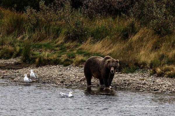 Brown Bears at Katmai National Perserve - Alaska