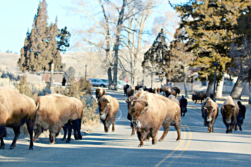 Heading back through Mammoth! Who says you have to go find them…..they find you!!