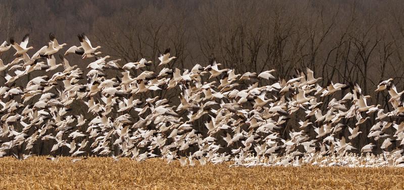 Snow Geese - Migration-7646.jpg