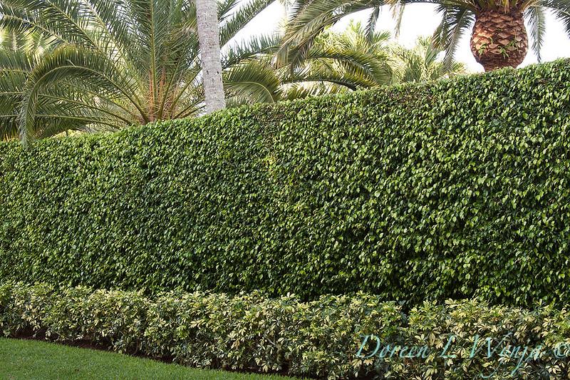 Ficus benjamina - Heptapleurum arboricola double hedge_0042.jpg