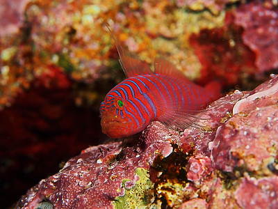 Goby / Ronquil