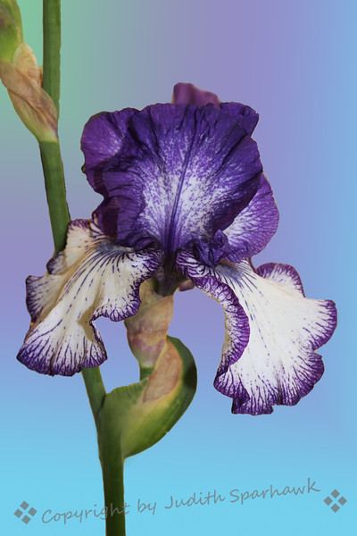 Purple and White ~ I liked the patterns of purple on white of this iris.  It was a prize winner at the Flower Show.