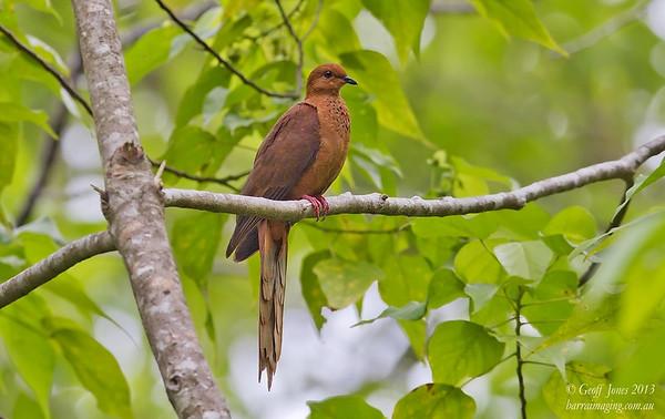 MacKinlay's Cuckoo-Dove Macropygia mackinlayi