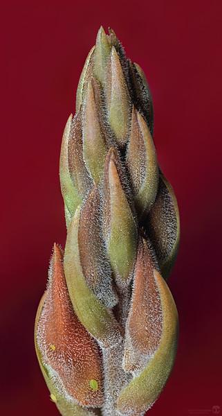 Leafless beaked ladies' tresses orchid bud