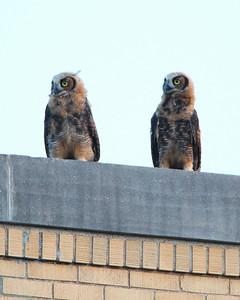 Owls of St.Joe Parish