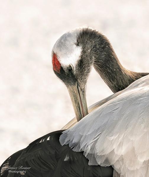 Crane Beauty- Best Fauna- October, NC Camera Club