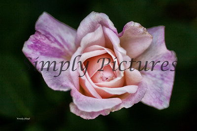 roses  027