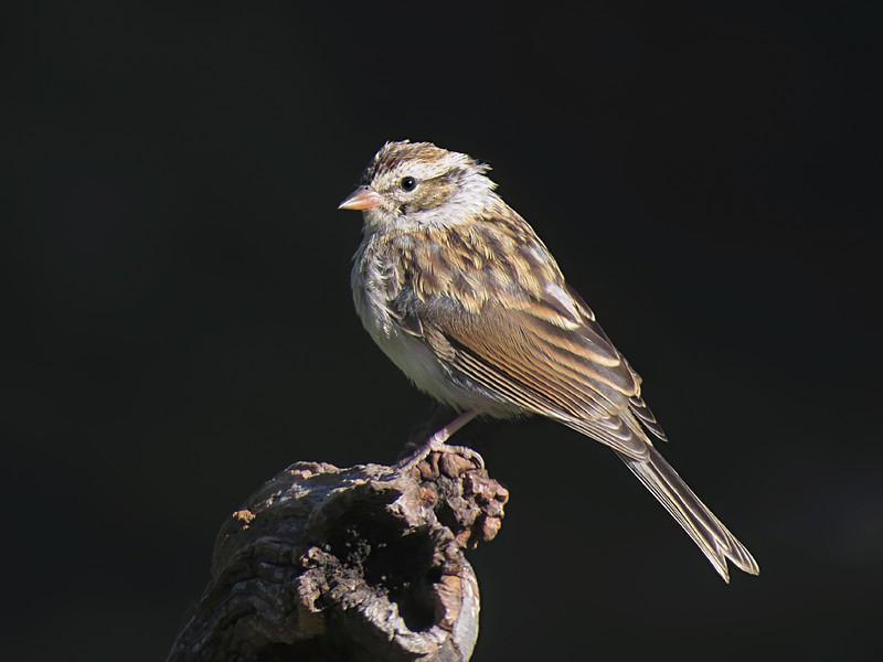 sx50_chipping_sparrow_boas_095.jpg