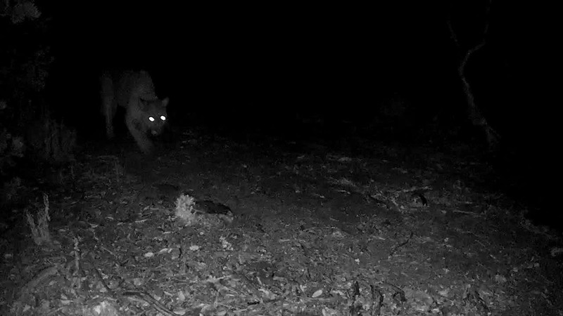 Lion. If you listen carefully you can hear it panting. This was 7:30 in the evening. 10/2/18