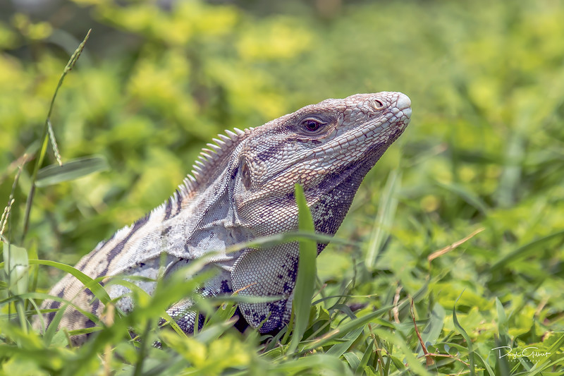 Spinytail Iguana