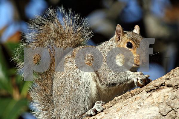 Squirrel: Pack 1