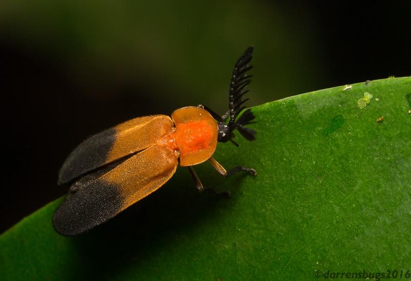 Firefly, Phaenolis (Lampyridae: Lampyrinae: Pleotomini) from Belize.
