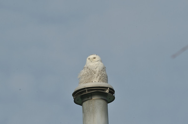Snowy Owl @ North Point