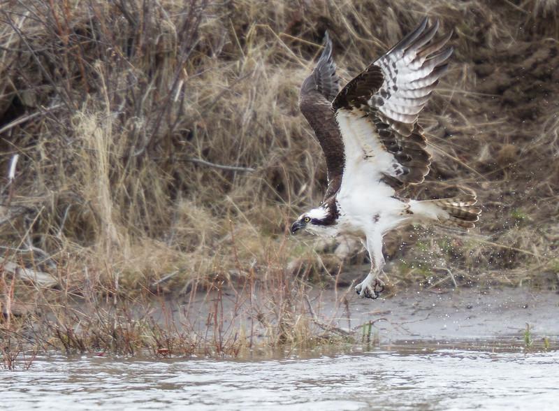 Osprey hunting near Soda Butte Yellowstone National Park WY IMG_0311.jpg